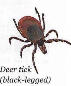 Deer Tick black-legged